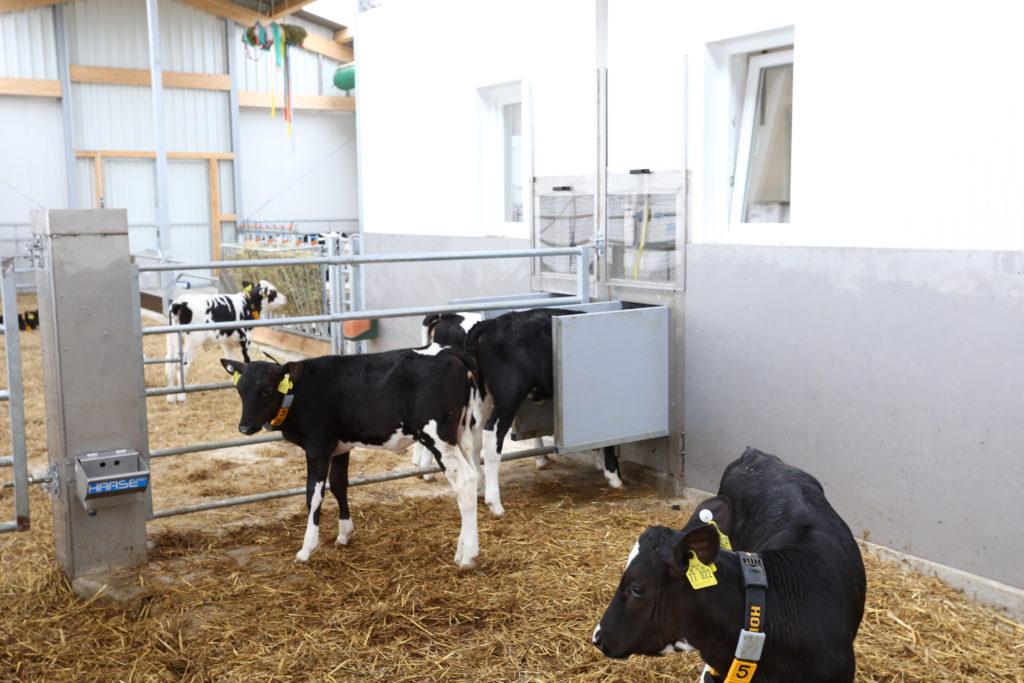 Automatic feeder for calves