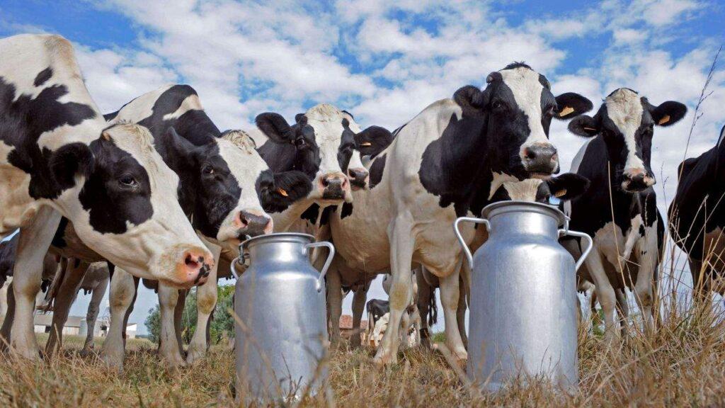 Как увеличить надои молока у коровы
