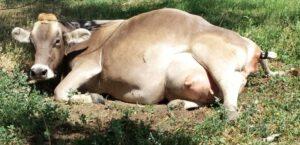 Как ухаживать за коровой во время беременности
